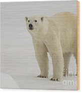 Polar Bear Walking On Ice Wood Print