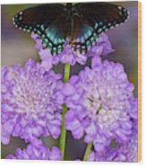 Red-spotted Purple Butterfly, Limenitis Wood Print