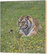 Siberian Tiger, China Wood Print