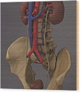 The Renal System Wood Print