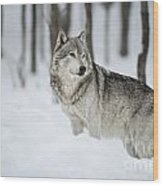 Timber Wolf Pictures Wood Print by Wolves Only