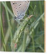 13 Balkan Copper Butterfly Wood Print