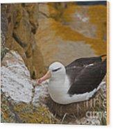 Black-browed Albatross Wood Print