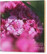 Sweet William From The Super Duplex Bluepoint Mix Wood Print