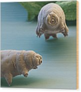 Water Bear Wood Print by Eye of Science and Science Source