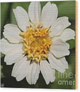 Zinnia From The Candy Mix Wood Print