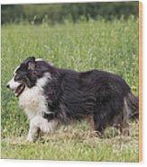 Australian Shepherd Dog Wood Print
