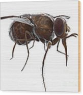 Tsetse Fly Wood Print