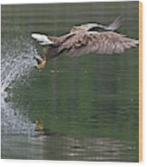 White-tailed Sea Eagle In Norway Wood Print