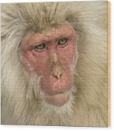 Snow Monkey, Japan Wood Print