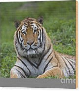 Siberian Tiger, China Wood Print