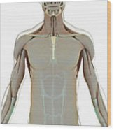 The Muscle System Wood Print