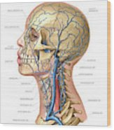 Venous System Of The Head And Neck Wood Print