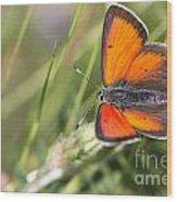 17 Balkan Copper Butterfly Wood Print