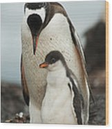 Gentoo Penguin With Young Wood Print