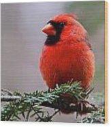 Northern Cardinal Male Wood Print by Dan Ferrin
