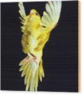 Perruche Ondulee Melopsittacus Undulatus Wood Print