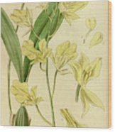 Botanical Print By Walter Hood Fitch 1817 – 1892 Wood Print