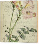 Botanical Print By Walter Hood Fitch 1817 – 1892 Wood Print