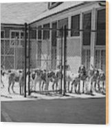 1930s Kennel Yard Full Of Foxhound Dogs Wood Print