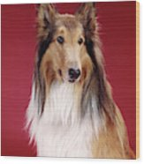 1960s Portrait Of Collie Dog On Red Wood Print