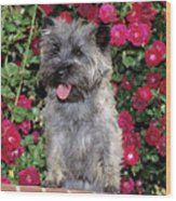 1990s Cairn Terrier Dog Standing Wood Print