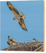 3 Ospreys At The Nest Wood Print