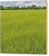 A Field Of Green Wheat Under A Cloudy Sky Wood Print