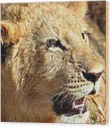 African Lion Cub Portrait Wood Print