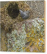 American Dipper And Nest   #1487 Wood Print