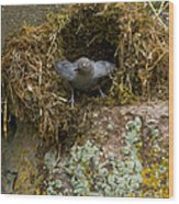 American Dipper And Nest   #1538 Wood Print