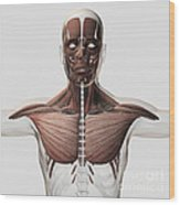 Anatomy Of Male Muscular System, Side Wood Print