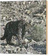 Arabian Leopard Panthera Pardus 1 Wood Print