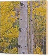 Aspen Trees In A Forest, Telluride, San Wood Print