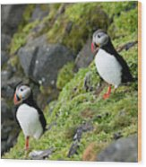 Atlantic Puffin, Fratercula Arctica Wood Print