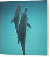 Atlantic Spotted Dolphin Pair Bahamas Wood Print