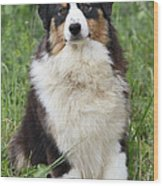 Australian Shepherd Dog Wood Print