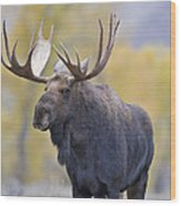 Autumn Bull Moose IIi Wood Print