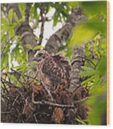 Baby Red Shouldered Hawk In Nest Wood Print