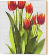 Backlit Tulip Flowers Against White Wood Print