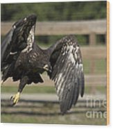 Bald Eagle In Flight Photo Wood Print