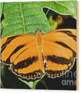 Banded Orange Butterfly Wood Print