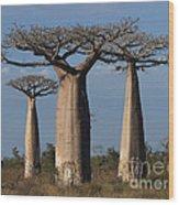 baobabs of Madagascar Wood Print
