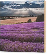 Beautiful Lavender Field Landscape With Dramatic Sky Wood Print