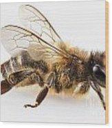 Bee Species Apis Mellifera Common Name Western Honey Bee Or Euro Wood Print