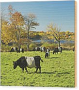Belted Galloway Cows Grazing On Grass In Rockport Farm Fall Main Wood Print