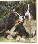 Bernese Mountain Dogs Wood Print