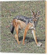 Black Backed Jackal Wood Print