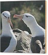 Black Browed Albatross Pair Wood Print