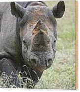 Black Rhinoceros Diceros Bicornis Michaeli In Captivity Wood Print by Matthew Gibson
